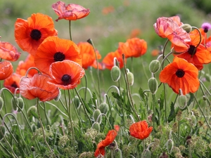Thousands of poppies to cover village